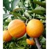 98%橙皮素厂家 橙皮素价格